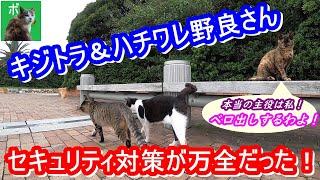 キジトラ&ハチワレ野良さん、セキュリティ対策が万全だった!【野良猫】